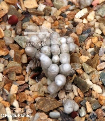 Anacampseros sp Anacampseros seeds