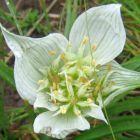 Androcymbium striatum synonyme: Colchicum striatum graines