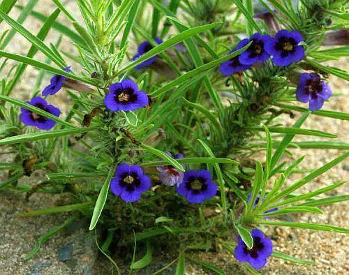 Aptosimum lineare Carpet flower - Karoo violet seeds