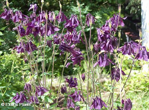 Aquilegia atrata dark Columbine seeds