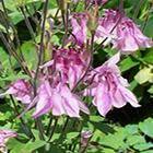 Aquilegia vulgaris  semillas
