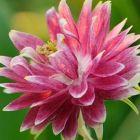 Aquilegia vulgaris var. stellata Nora Barlow
