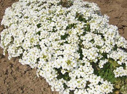 Arabis alpina subsp. caucasica Snowcap Mountain rock cress - Alpine rockcress seeds