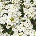 Arabis alpina subsp. caucasica Snowcap