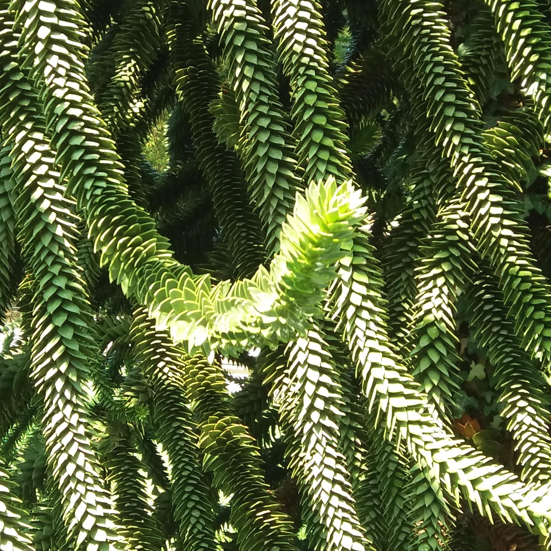 Araucaria araucana Chilenische Araukarie - Andentanne - Affenschwanzbaum Samen