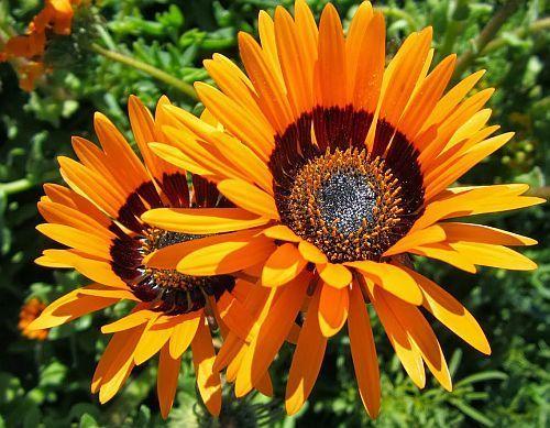 Arctotis fastuosa Namaqualand arctotis seeds