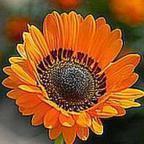 Arctotis fastuosa arctotis de Namaqualand semillas