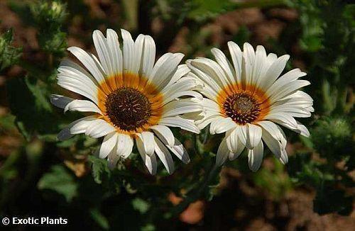 Arctotis venusta African Daisy seeds