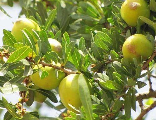 Argania spinosa Argan oil seeds
