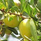 Argania spinosa  cемян