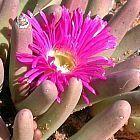 Argyroderma fissum Synonym: Argyroderma braunsii, Argyroderma brevipes, Argyroderma latipetalum, Argyroderma orientale, semi