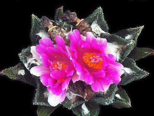 Ariocarpus bravoanus living rock cactus seeds