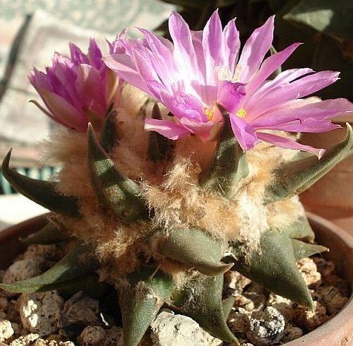 Ariocarpus confusus living rock cactus seeds