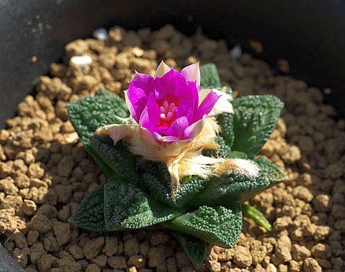 Ariocarpus fissuratus v. hintonii Living Rock Cactus seeds