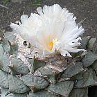 Ariocarpus furfuraceus lebender Felsen Kaktus Samen