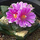 Ariocarpus kotschoubeyanus v. elephantidens Vivere Roccia Cactus semi