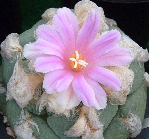 Ariocarpus lloydii Living Rock Cactus seeds