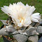 Ariocarpus retusus v. elongatus lebender Felsen Kaktus Samen