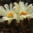 Ariocarpus trigonus v. horacekii  semi