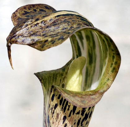 Arisaema nepenthoides Jack-in-the-Pulpit seeds