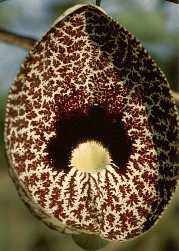 Aristolochia elegans Calico flower - Dutchmans pipe seeds