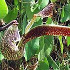Aristolochia ringens Vogelschnabelblume Samen