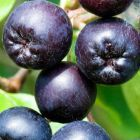 Aronia melanocarpa Schwarze Apfelbeere - Vitaminbombe Samen