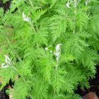 Artemisia afra Absinthe africaine - Lanyana graines