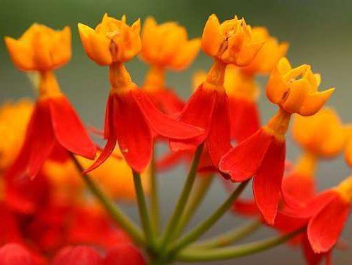 Asclepias curassavica tropical milkweed - scarlet milkweed - bloodflower seeds