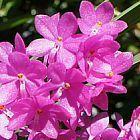 Ascocentrum mpullaceum Orchideen Samen