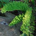 Asparagus densiflorus Meyersii Asparagus graines