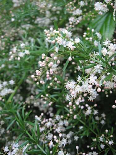Asparagus densiflorus Sprengeri Asparagus fern - emerald fern seeds