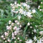 Asparagus densiflorus Sprengeri Esparraguera - Esp?rrago helecho semillas