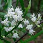 Asparagus falcatus Аспарагус серповидный cемян