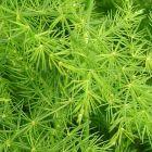 Asparagus plumosus Asparagus graines
