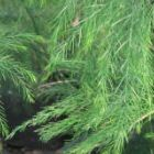 Asparagus virgatus Tiki Farn - Besen Farn Samen