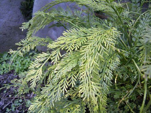 Asplenium prolongatum fern seeds