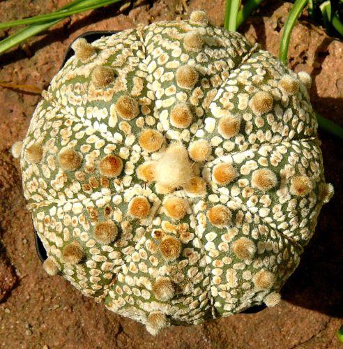 Astrophytum asterias cv Superkabuto Super Cabuto seeds