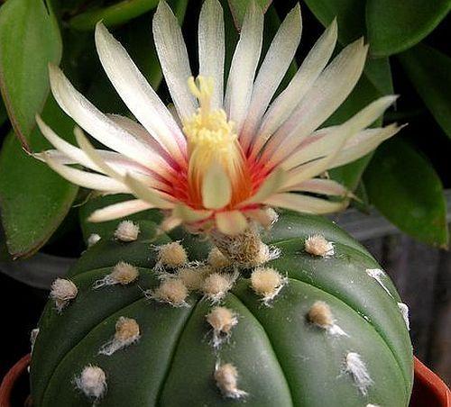 Astrophytum asterias v. nudum living rocks seeds