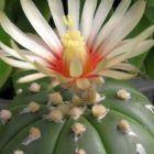Astrophytum asterias v. nudum  semi
