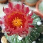 Astrophytum asterias v. rote Bluete