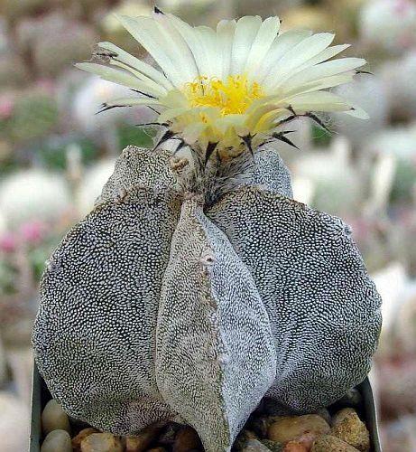 Astrophytum myriostigma v. potosinum cactus seeds