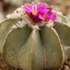 Atztekium hintonii Kaktus Samen