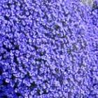 Aubrieta deltoidea Royal Blue Blaubl?hende Aubrieta Samen
