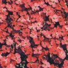 Aubrieta deltoidea Royal Red Griechisches Blaukissen Samen