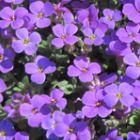 Aubrieta deltoidea Royal Violet Violettbl?hende Aubrieta Samen
