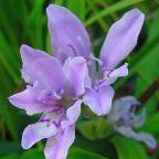 Babiana ambigua planta bulbosa semillas