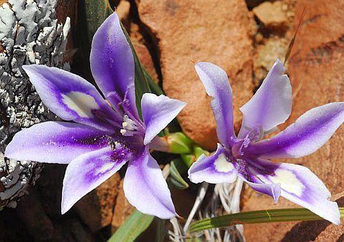Babiana sambucina fragrant babiana seeds