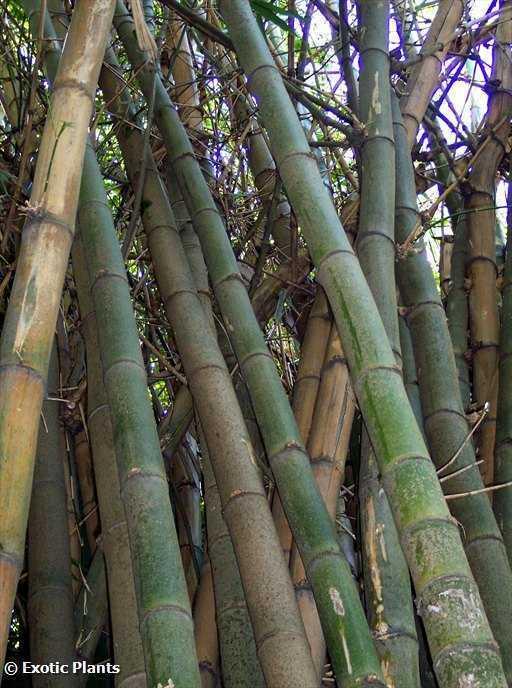 Bambusa Arundinacea Thorny Giant Bamboo Seeds