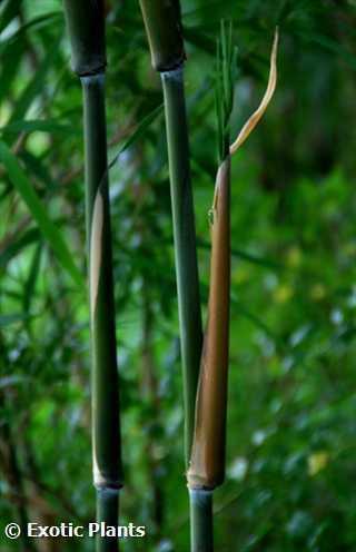 Bambusa distegia upright bamboo seeds